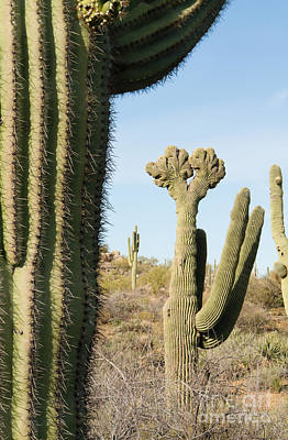 Photograph - Double Crested Saguaro by Marianne Jensen