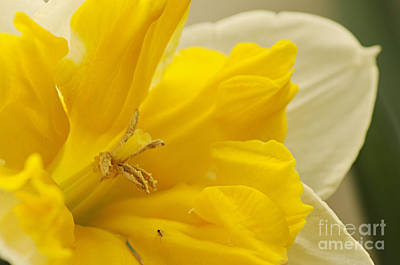 Photograph - Double Daff by Larry Ricker