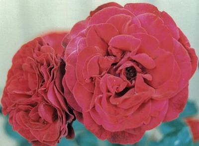 Double Desert  Red Roses Art Print by Dusty Rose