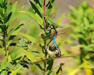 Dragonflies Mating Photograph - Double Dragon by Al Powell Photography USA