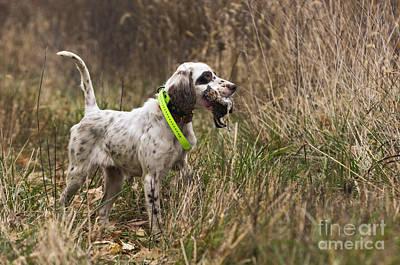 Gun Dog Photograph - Double Duty - D009287 by Daniel Dempster