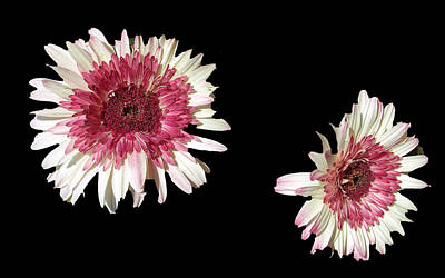 Photograph - Double Gerber Daisies by Frederic Kohli