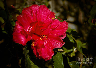 Photograph - Double Hibiscus by Robert Bales