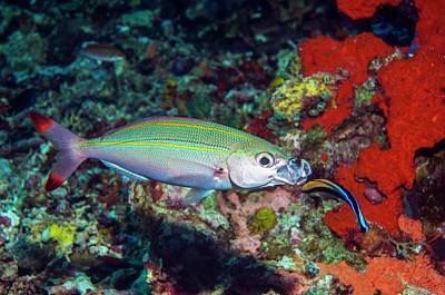 Double-lined Fusilier With Cleaner Wrasse Art Print by Georgette Douwma/science Photo Library