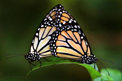 Photograph - Double Monarch by Joseph G Holland