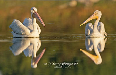 Photograph - Double Pelicans by Mike Fitzgerald