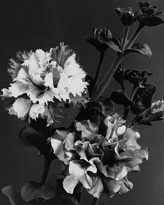 White House Photograph - Double Petunias by J. Horace McFarland