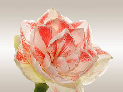Amarylis Photograph - Double Pink Amaryllis by Gill Billington
