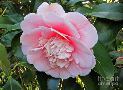 Photograph - Double Pink Camilla Flower by Valerie Garner
