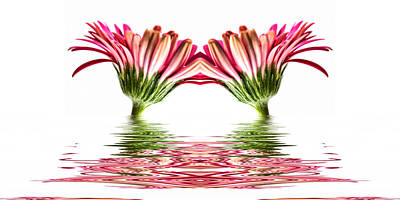 Double Pink Gerbera Flood Art Print by Steve Purnell