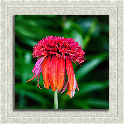 Photograph - Double Scoop Orangeberry Coneflower by Gary Smith