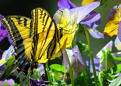 Double-tailed Swallowtail Buftterfly Art Print