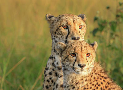 Cheetah Photograph - Double Team by Jaco Marx