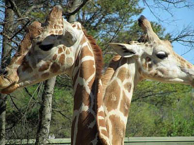 Giraffes With A Twist Art Print