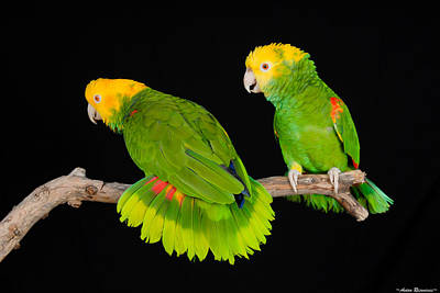 Double Yellow-headed Amazon Pair Art Print