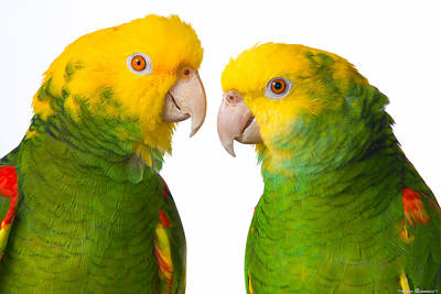 Double Yellow-headed Amazon Pair Portrait Art Print