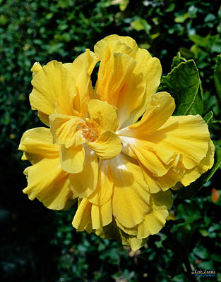 Hibiscus Photograph - Double Yellow Hibiscus by Aloha Art