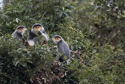 Douc Langur Male And Females Vietnam Art Print by Cyril Ruoso