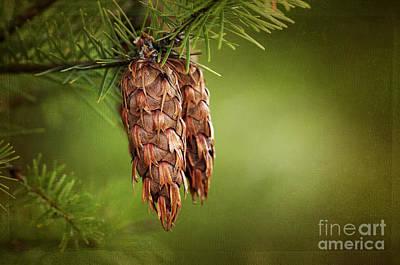Pine Cones Photograph - Douglas Fir Cones by Sharon Talson