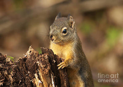 Photograph - Douglas Squirrel On Stump by Sharon Talson