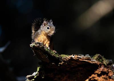 Pine Squirrel Photograph - Douglas Squirrel  Tamiasciurus by Robert L. Potts