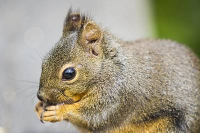 Photograph - Douglas Squirrel  by Windy Corduroy