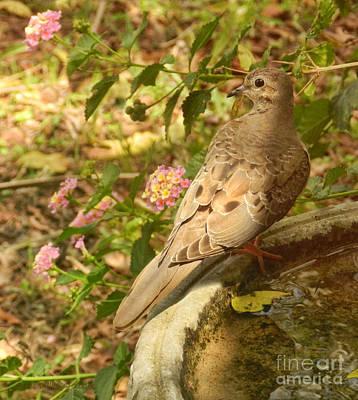 Photograph - Dove And Lantana by Grace Dillon