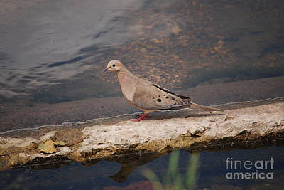 Photograph - Dove At The Lake by Mark McReynolds