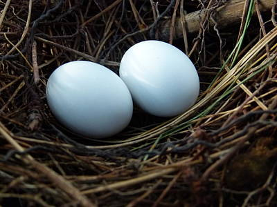 Photograph - Dove Eggs by Richard Bryce and Family