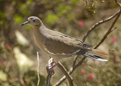 Photograph - Dove by Kenneth Hadlock