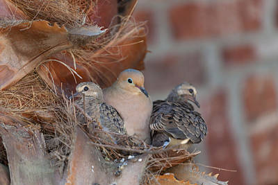 Art Print featuring the photograph Dove Nest 4 by Gregory Daley  PPSA