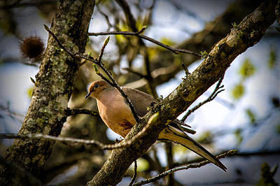 Photograph - Dove On A Limb by Barry Jones