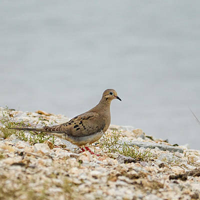 Mourning Dove Photograph - Dove On The Shore - 06.15.2014 by Jai Johnson