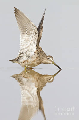 Dowitcher Wing Stretch Art Print by Bryan Keil