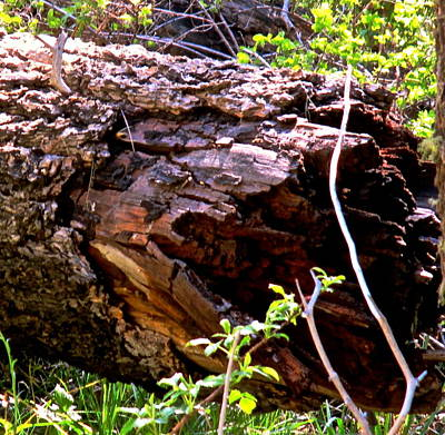 Photograph - Downed Tree Trunk by Jeff Gater