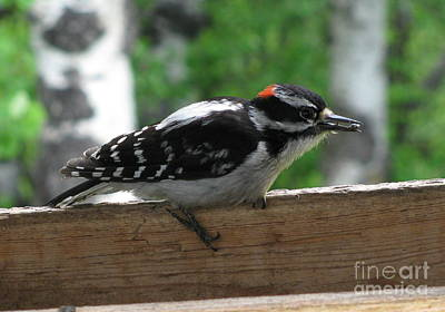 Photograph - Downey Woodpecker Sitting by Leone Lund