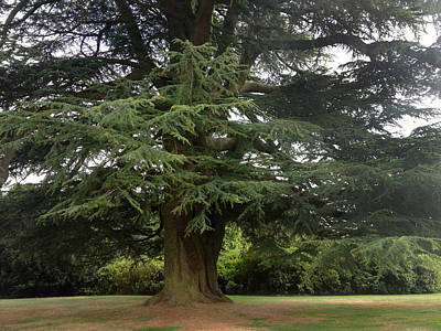 Photograph - Downton Abbey Cedar Tree by Jan Cipolla
