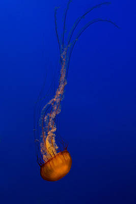 Photograph - Downward Facing Pacific Sea Nettle 3 by Scott Campbell