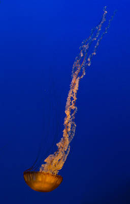 Photograph - Downward Facing Pacific Sea Nettle 4 by Scott Campbell