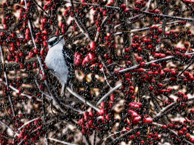 Downy Woodpecker Photograph - Downy In The Berries by Shelley Neff