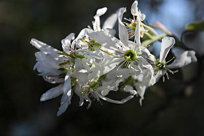Photograph - Downy Serviceberry by William Tanneberger