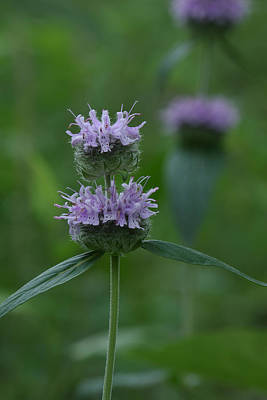 Photograph - Downy Wood Mint by Daniel Reed