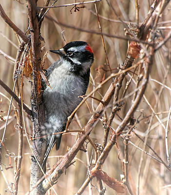 Photograph - Downy Woodpecker by Britt Runyon