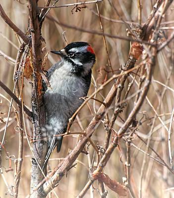 Photograph - Downy Woodpecker by Britt Runyon