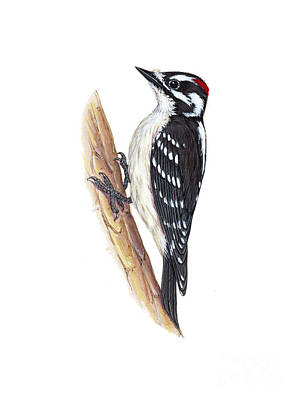 Picoides Pubescens Photograph - Downy Woodpecker by Carlyn Iverson