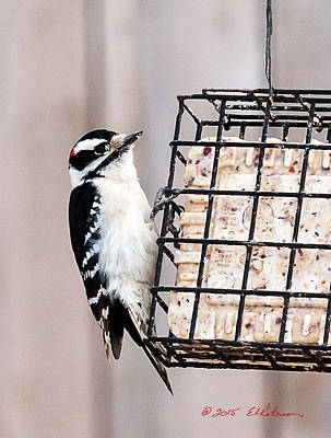 Photograph - Downy Woodpecker Eating by Edward Peterson