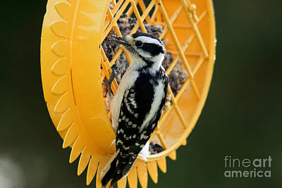 Picoides Pubescens Photograph - Downy Woodpecker Feeding by Linda Freshwaters Arndt