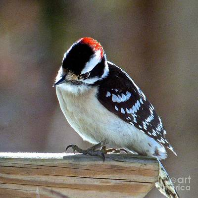 Photograph - Downy Woodpecker by Jean Wright