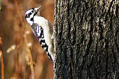 Photograph - Downy Woodpecker by Joe Faherty