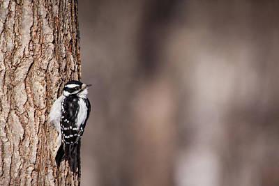 Photograph - Downy Woodpecker by Karol Livote